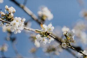 Rama con flores de albaricoquero uno de los árboles con flores exóticas